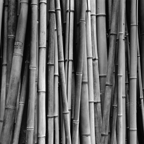 #bamboo #daesoo kim #black and white photo #gelatin silver #zone system #ansel adams / #대나무 #선비 정신 #김대수 #흑백 사진 #은염프린트 #젤라틴실버 #존시스템 #안셀 아담스 / #탄은 #이정 #사군자 #매난국죽